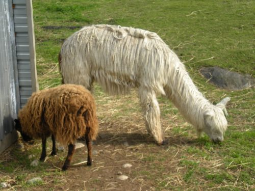 Alpaca and Icelandic Sheep