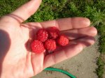 The Season's First Raspberries!