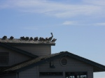 Pelicans on Shop Roof